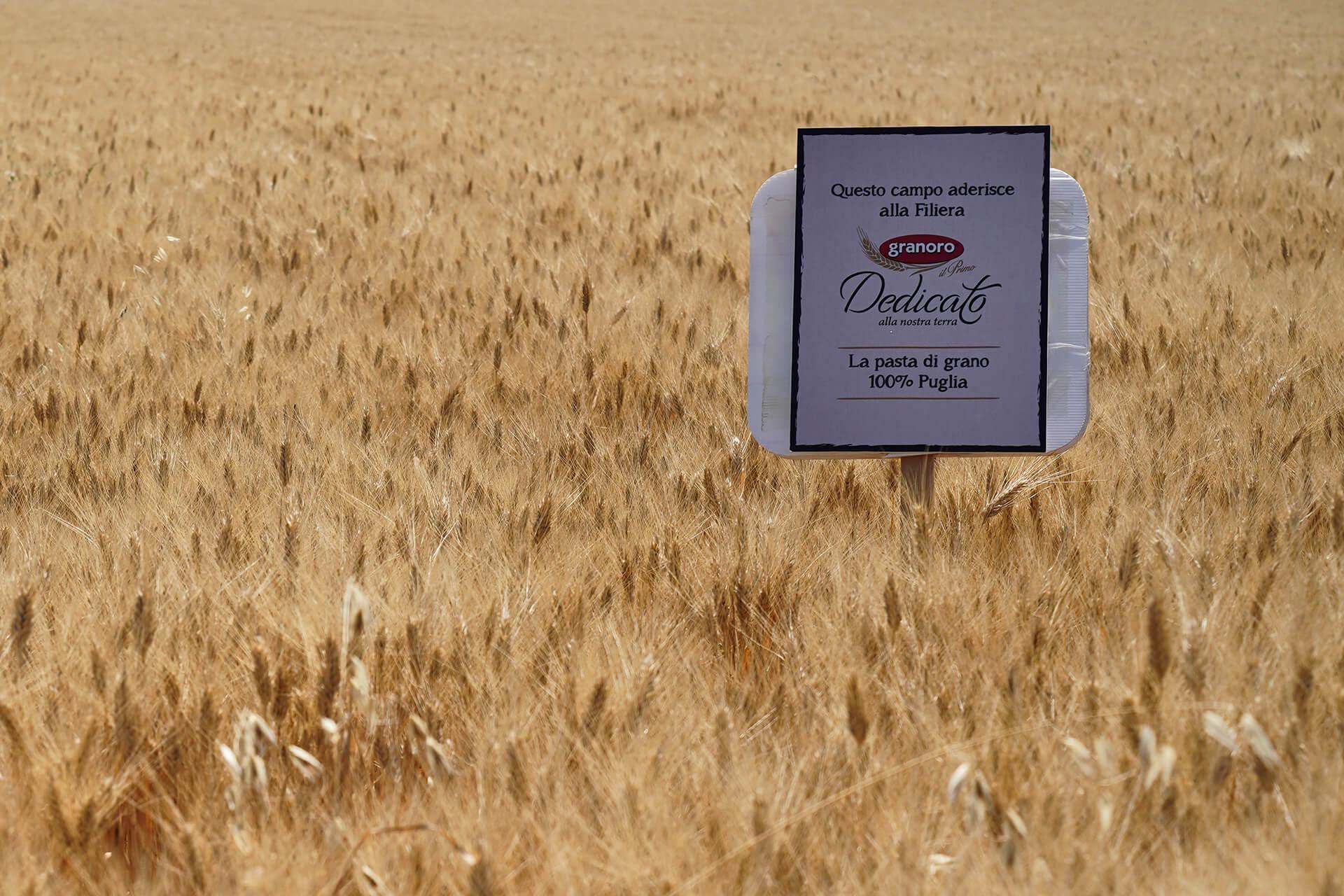 Campo di grano della filiera Dedicato